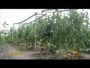 Природное земледелие.Выращивание томатов.